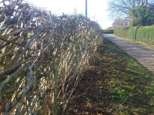 The finished, layed hedge from the lane side.