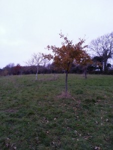 Oak in a cider orchard